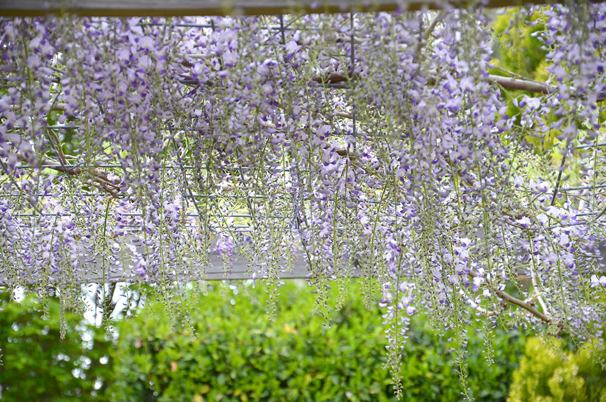 the secret garden southern highlnds open garden wedding garden venue reception ceremony bowral wildes meadow burrawang robertson country wedding wysteria arbour arch marquee